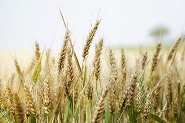 agriculture-arable-barley-265278
